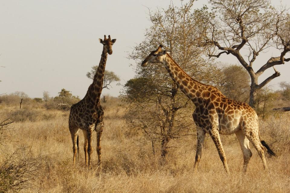Kruger giraffes  by sarahjadeonline