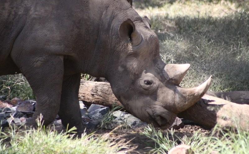 Black Rhino  by Derek Keats