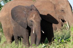 Elephant and calf by Chris Eason