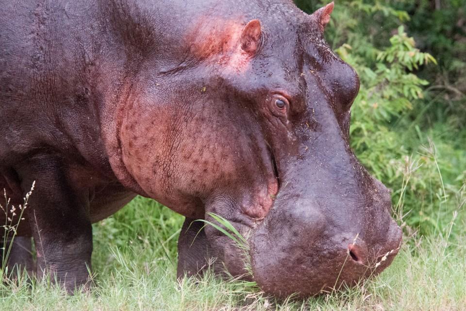 Hippo  by Chris Eason