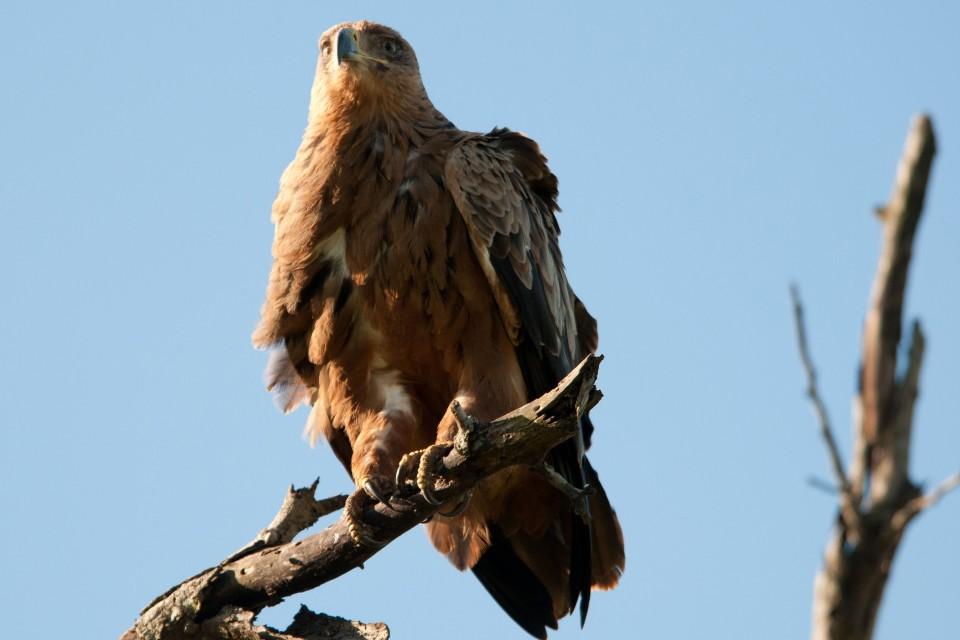 Tawny eagle  by Chris Eason