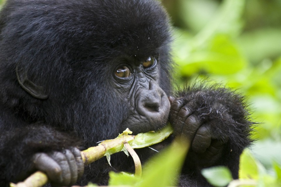 Mountain Gorilla in Bwindi  by Hjalmar Gislason