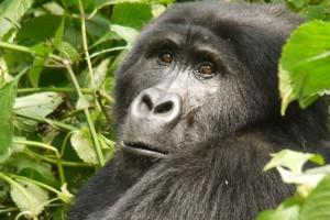 African Mountain Gorilla by Martijn Munneke