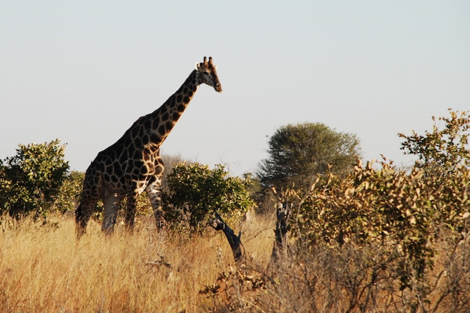 Giraffe at hwange national park