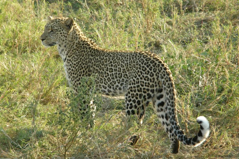 Serengeti leopard, Tanzania