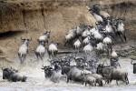 Wildebeest Migration, Masai Mara in Kenya