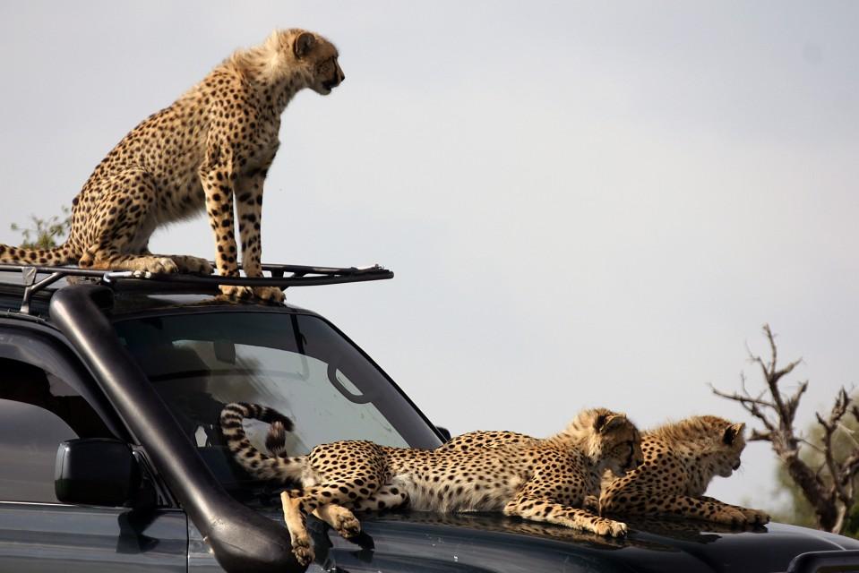 Naboisho cheetahs
