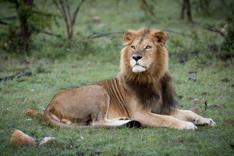 Ol Kinyei lion