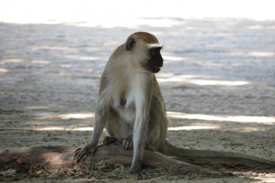 Liwonde vervet monkey  by Malcolm Manners