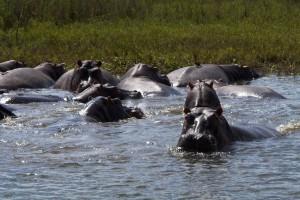 Liwonde hippos by David Davies