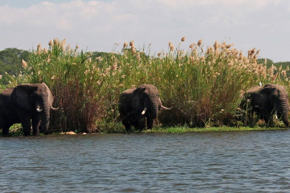 Liwonde elephants  by Rowley Taylor
