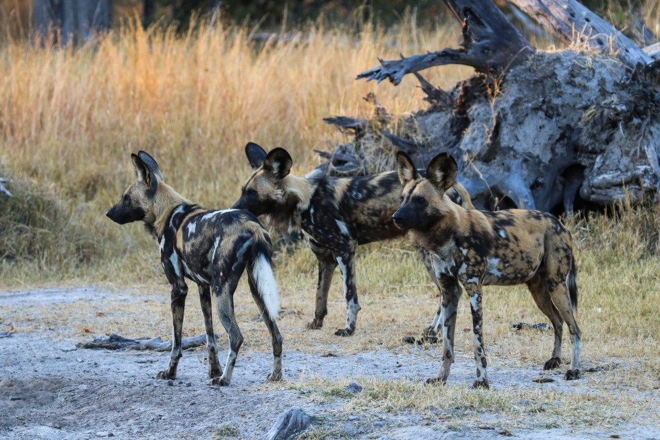 Moremi wild dogs  by Chris Parker