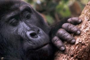 Mountain gorilla up close