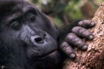 Mountain gorilla up close