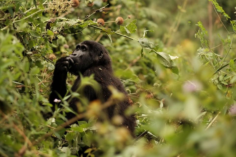 Endangered gorilla  by Brian Harries