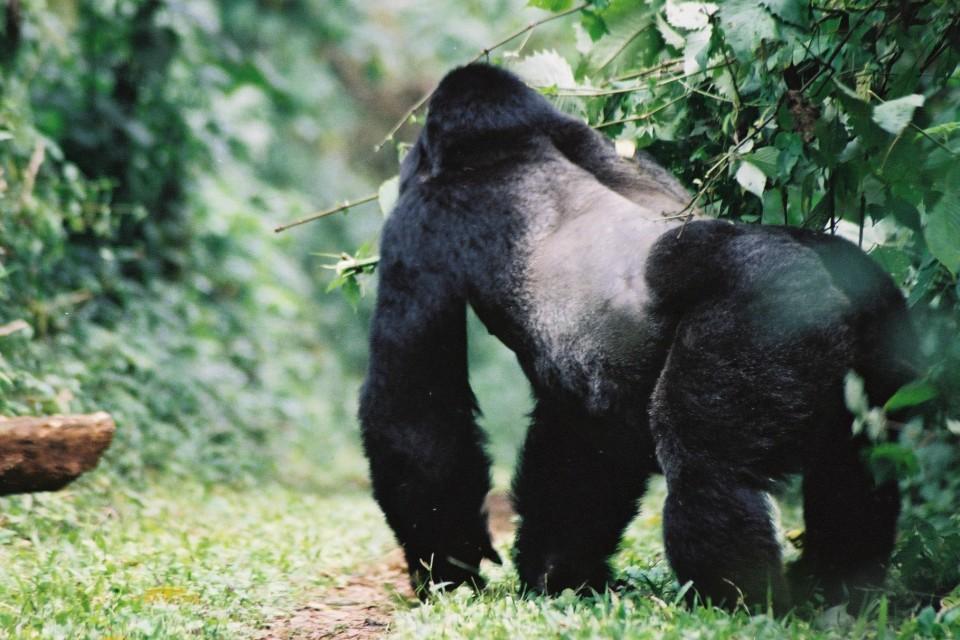 Uganda silverback  by Cristoffer Crusell