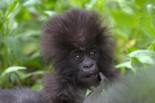 Baby gorilla  by Kwita Izina