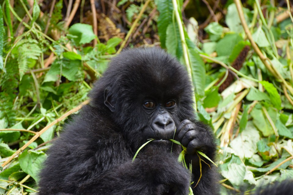 Young gorilla eating  by Porco Rosso