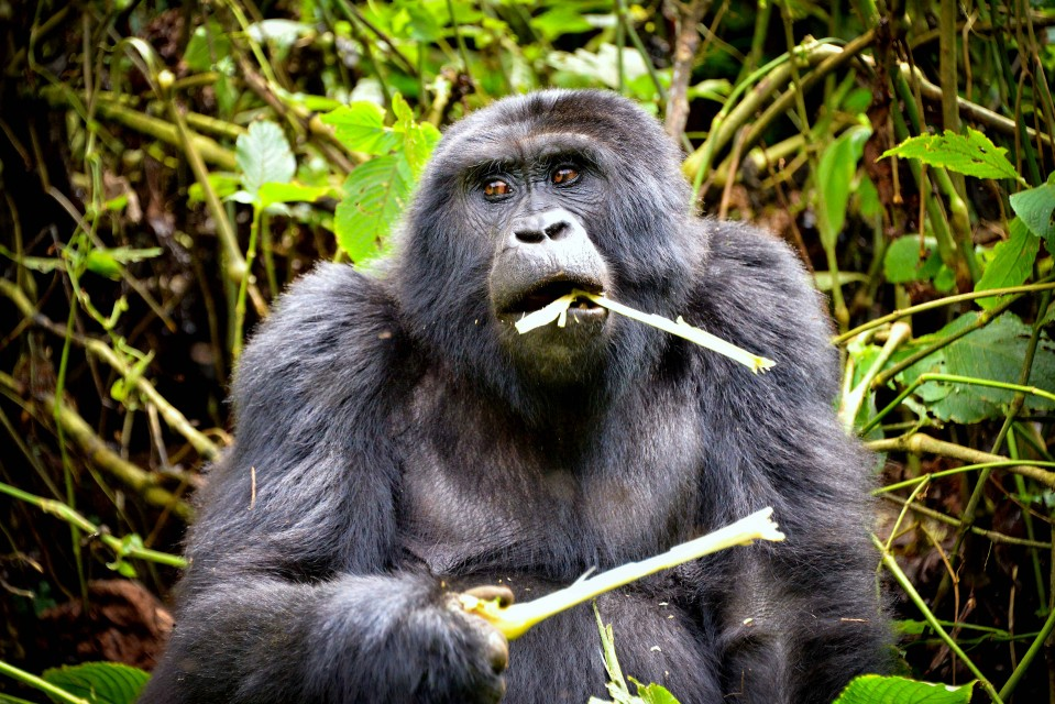 Uganda gorilla  by Rod Waddington