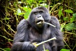 Uganda Gorillas, Chimps & Wildlife Lodge Safari