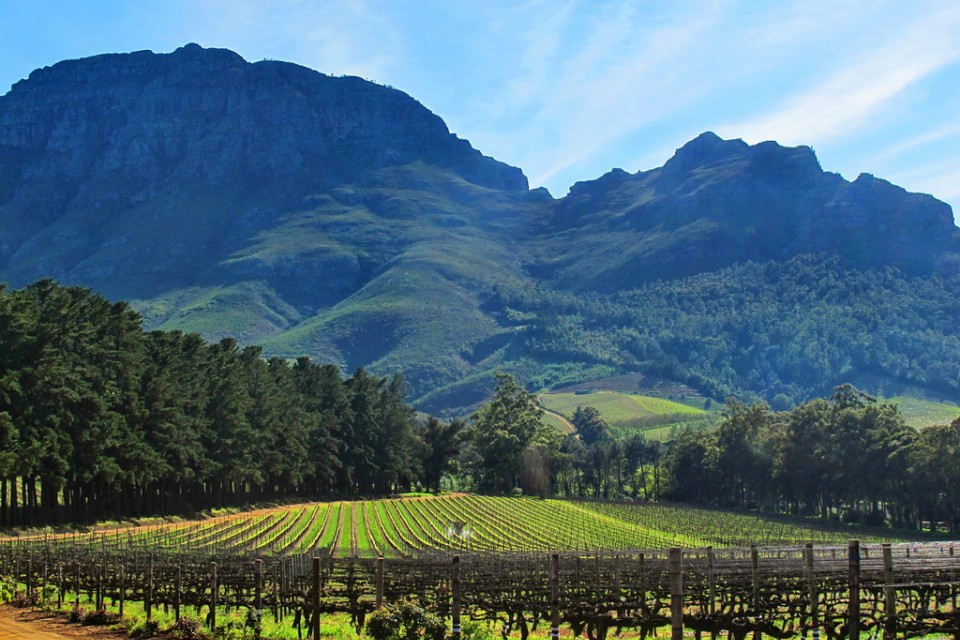 Stellenbosch vineyard  by Dave Bezaire