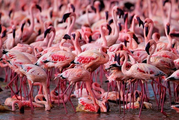 Lake Nakuru flamingos  by Martin Harvey