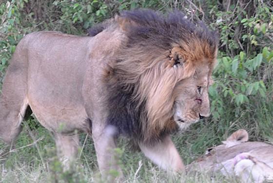Lions mara