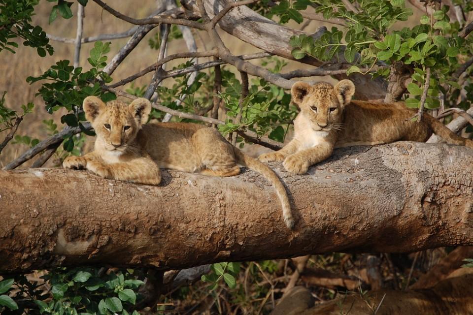 Tsavo lion cubs  by Matt Berlin