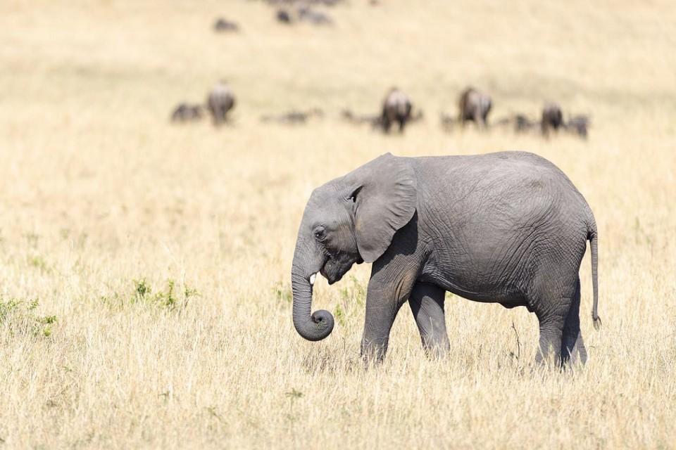 Mara elephant  by Christopher Michel