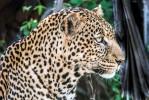 Tsavo leopard