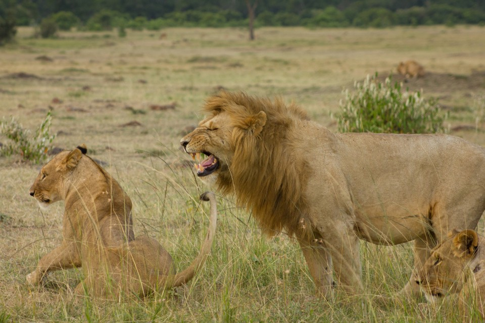Mara lions  by Weldon Kennedy