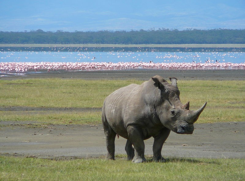 Nakuru rhino  by Ryan Harvey
