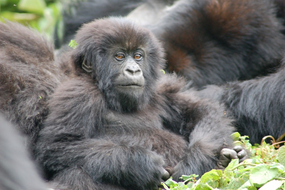 Rwanda gorilla group  by Joachim Huber
