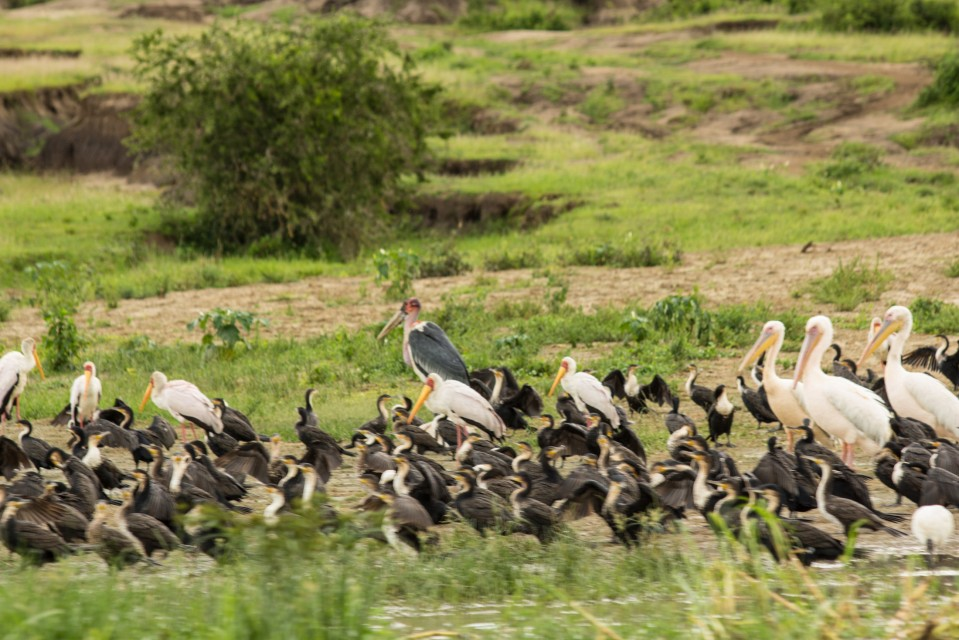 Birds-along-the-kazinga-channel