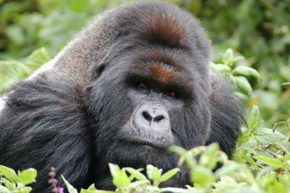 Volcanoes gorilla  by Joachim Huber