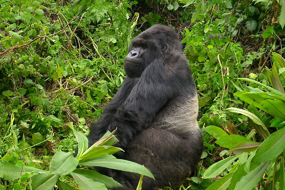 Uganda gorilla  by Philip Kromer