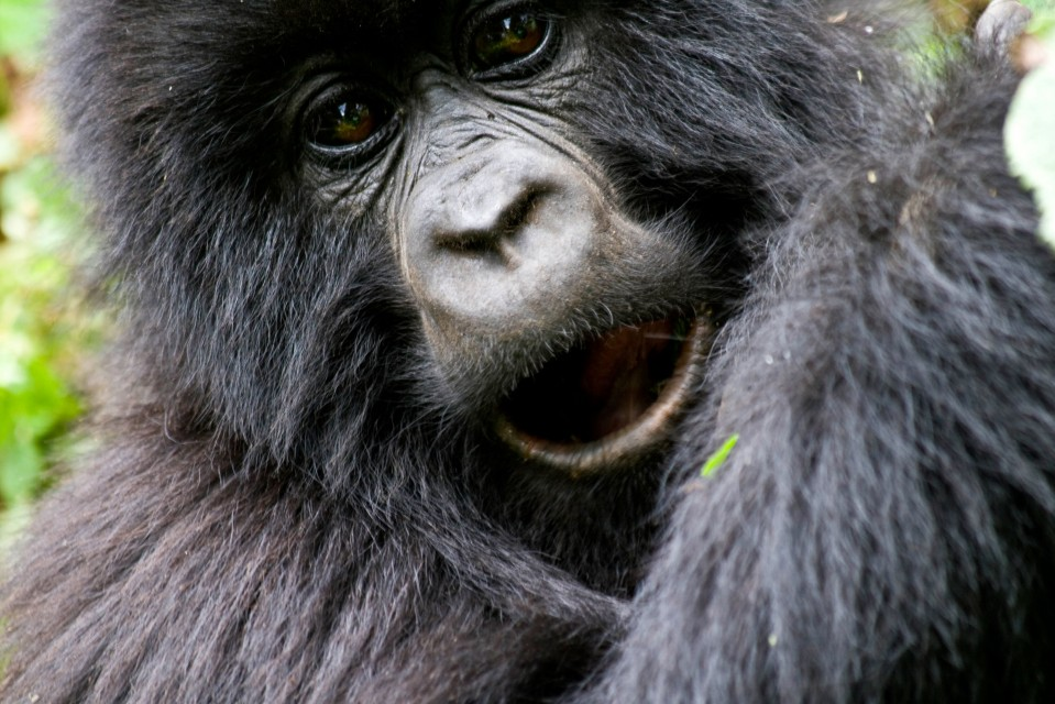 Rwanda gorilla trek  by Hjalmar Gislason