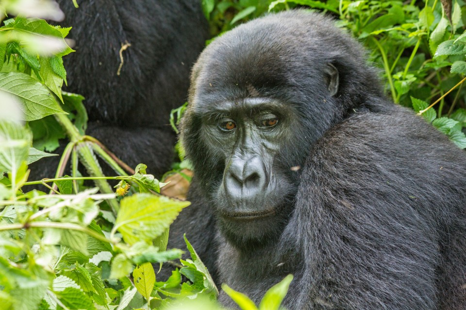 African mountain gorilla