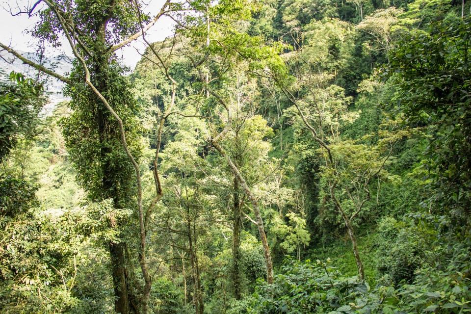 Virunga forest