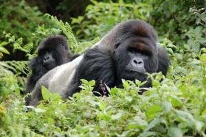 Rwanda gorillas by Joachim Huber