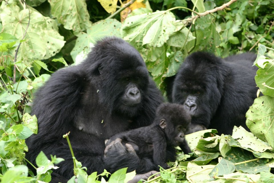 Gorillas in Volcanoes Park  by Derek Keats