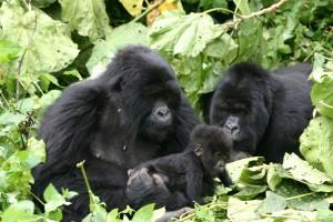 Gorillas in Volcanoes Park by Derek Keats