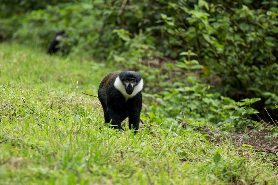 L'Hoest's monkey in Nyungwe  by Justin Raycraft