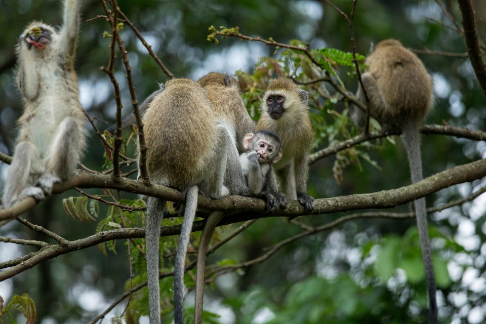 Vervet monkeys in Nyungwe Forest   by Justin Raycraft