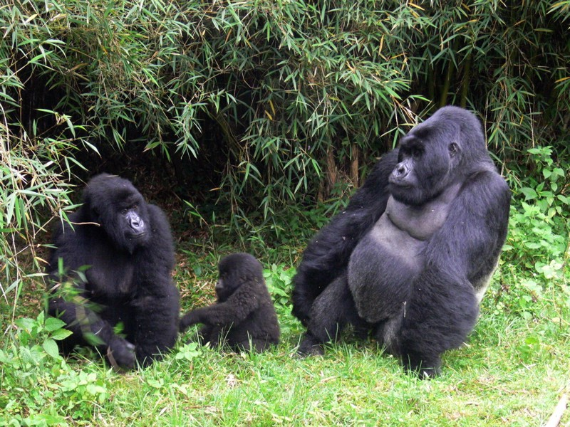Gorillas in Rwanda  by Alan & Flora Botting