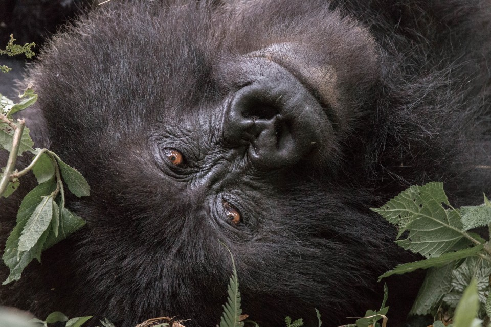 Gorilla close up  by Maciej