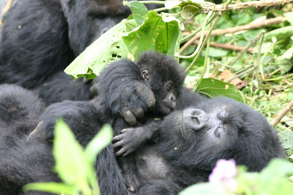 Gorilla baby and mom  by Derek Keats