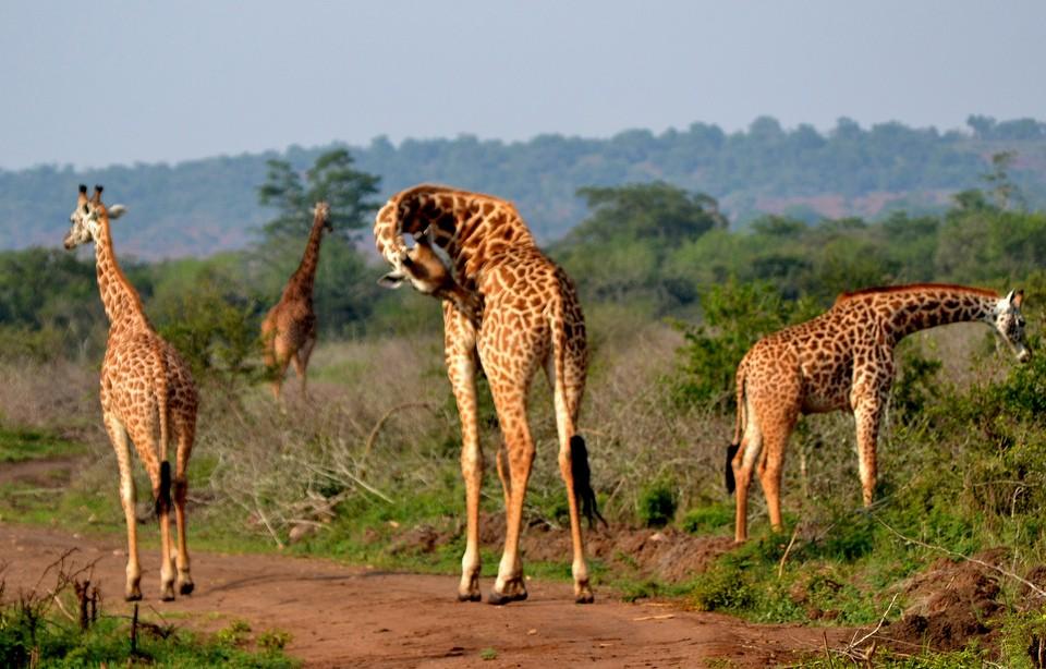 Akagera giraffes  by Abhishek Singh