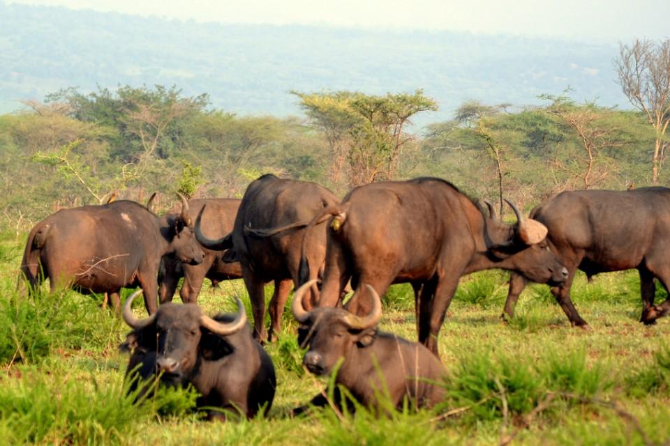 Akagera buffalos  by Abhishek Singh