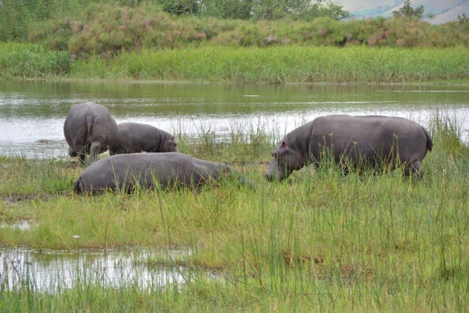 Akagera hippos  by Francois Terrier